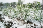 100331093149_late_spring_snow-bushes_blooming_001