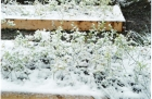 100331093736_young_bushes_in_snow_001